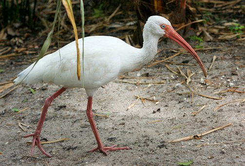 White Ibis, Threskiornithidae, Pelecaniformes