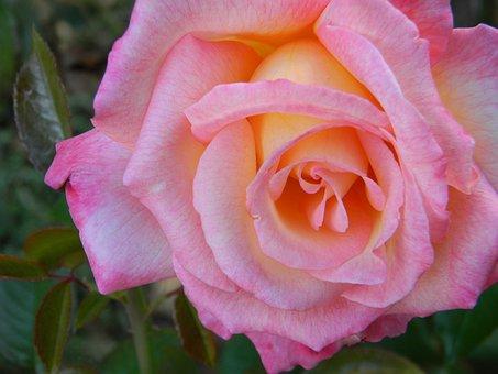 Pink, Rose, Flower, Petal, Love, Macro, Nature, Plant