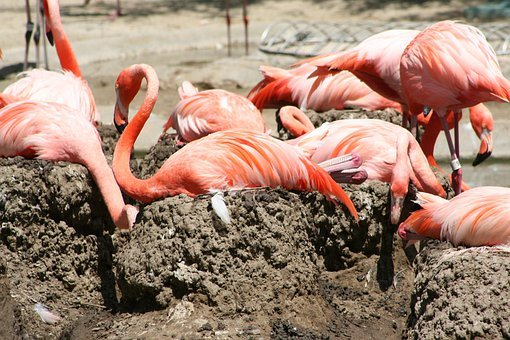 Flamingo, Birds, Tall, Wading, Pink, Orange, Plumage