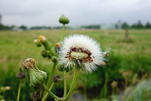 Dandelion, Puffball, Blown Out, Flower, Plant, Withered