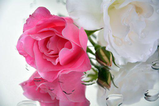 Icebergs, Roses, Pedals, Pink, White
