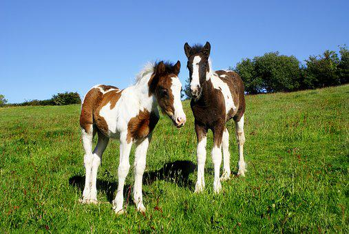Foals, Two, Horse, Skewbald, Piebald, Brown, Young
