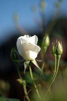 White Iceberg, Rose Buds, Spring, Garden