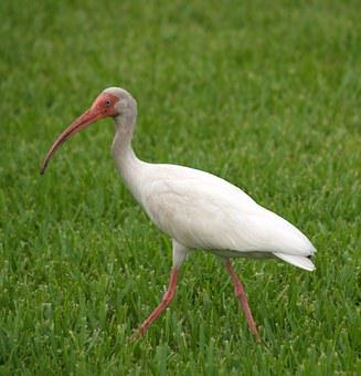 Ibis, Tropical, Wading, Bird, Florida, Beak, White