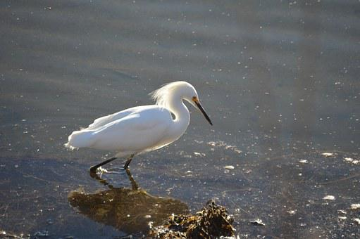 Snowy, Egret, Bird, Wading, Water, Birdwatching