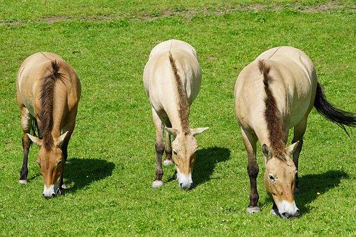 Przewalski, Wild Horse, Horse, Perissodactyla, Mammal