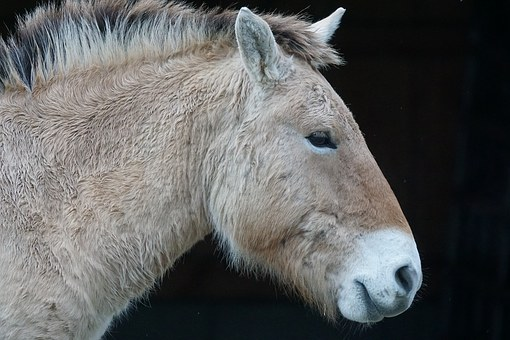Przewalski, Horse, Wild Horse, Perissodactyla, Portrait