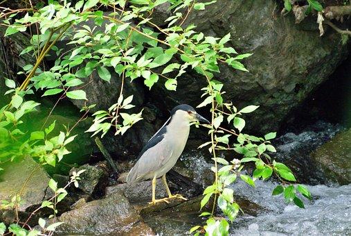 Black-crowned Night-heron, Wading Bird, Wildlife