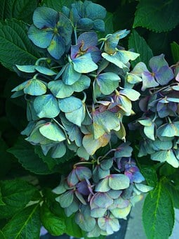 Hydrangea, Wilted, It Was Nearing Withered, Sunny