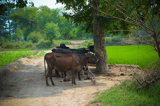 Buffaloes, Livestock, Village, Nature, Agriculture