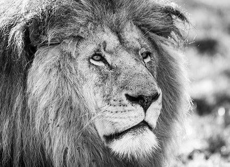 Lion, Black White, Predator, Africa, Male, Animal World