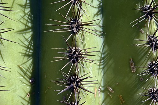 Saguaro Spines Up Close, Cactus, Arizona, Desert