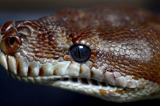 Bredl's Python, Python, Australia, Animal, Constrictor