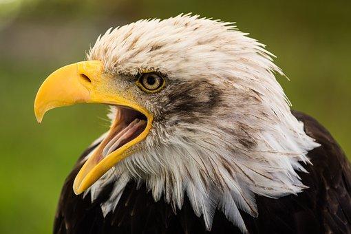Bald Eagle, Bill, Bird Of Prey, Raptor, Adler, Close Up