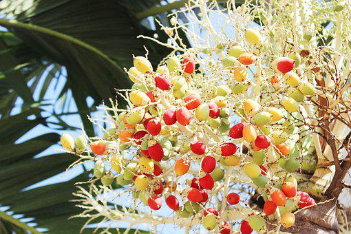 Ball Joint, Palm, Tree, Fruit, Garden, Red, Yellow
