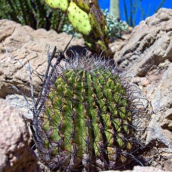 Fishhook Cactus, Barrel, Fishhook, Cactus, Plant