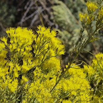 Bee Feeding On Yellow Flowers, Insect, Rabbitbrush