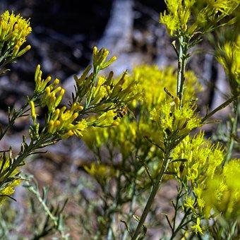 Bee On Yellow Rabbitbrush, Insect, Rabbitbrush, Desert