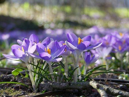 Flowers, Crocus, Spring, Nature, Purple, Bloom