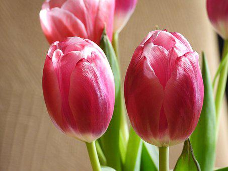 Tulips, Flowers, Spring, Bouquet, Garden, Pink, Figure