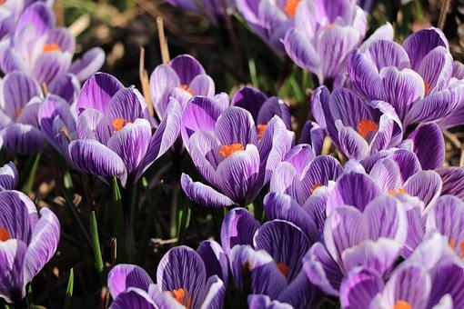 Crocus, Voorjaarsbloeier, Bulb Flowers, Flowers, Nature