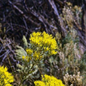 Yellow Rabbitbrush, Desert, Chrysothamnus
