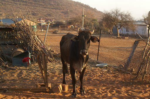 Goat, Cow, Limpopo, Livestock, Sheep, Cattle, Nature