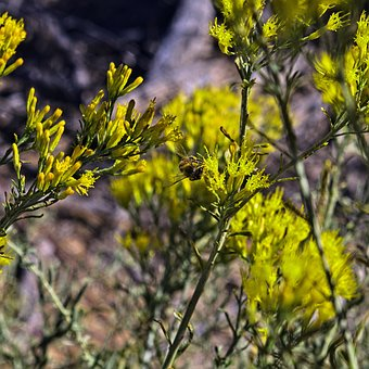 Bee Feeding On Rabbitbrush, Insect, Rabbitbrush, Desert
