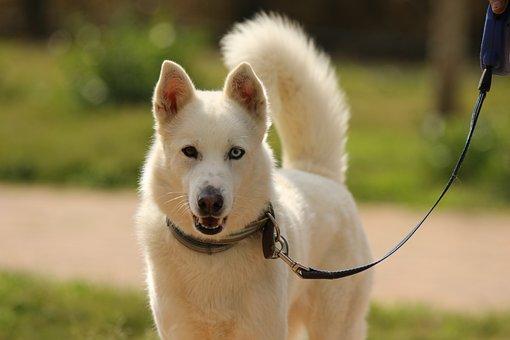 Dog, Breed, Siberian Husky, Portrait, White, Eyes