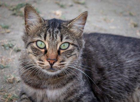 Cat, Pet, Animal, Domestic Cat, Cat's Eyes, Cat Face