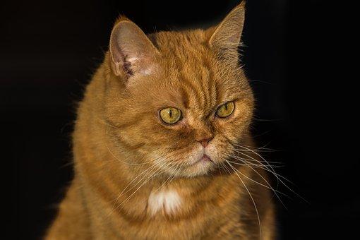 Cat, Pet, Domestic Cat, Cat's Eyes, Kitten, Cat Face