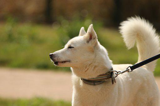 Dog, Siberian Husky, Breed, Portrait, Domestic