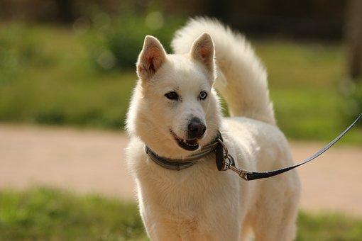 Dog, Breed, Siberian Husky, Portrait, Domestic, Eyes