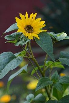 Sunflower, Flower, Flora, Bloom, Yellow, Nature, Summer