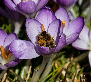 Crocus, Flower, Spring Flower, Violet, Flora, Bee
