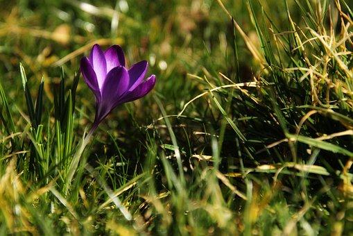 Crocus, Flower, Spring, Nature, Plant, Blossom, Bloom