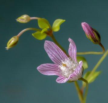 Bog-pimpernel, Wildflower, Rare, Tiny, Flower, Plant