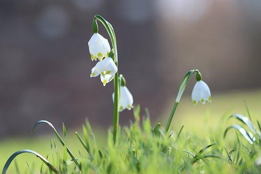 Snowflake, Snowdrop, Flowers, White, Spring Flower