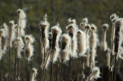 Cattail, Reed, Flying Seeds, Pond Plant, Plant