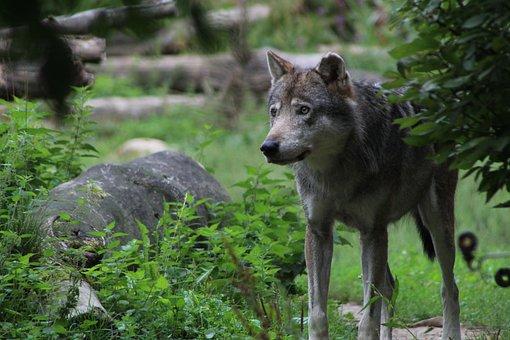 Wolf, Gray Wolf, Predator, Zoo, Gaiazoo, Nature, Wild