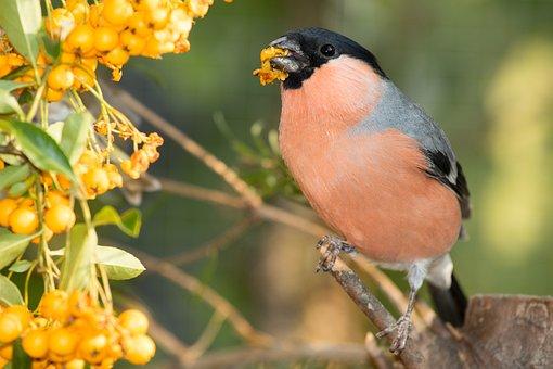 Bullfinch, Gimpel, Bird, Songbird, Pyrrhula, Fink