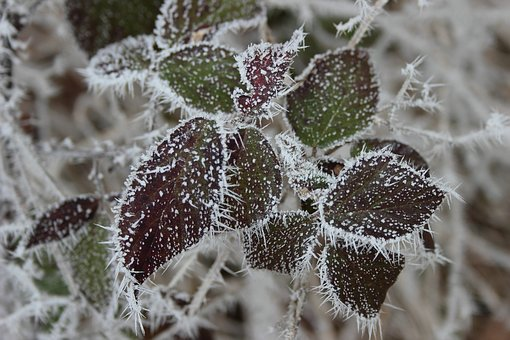 Ripe, Crystals, Winter, Eiskristalle, Frost, Cold, Icy