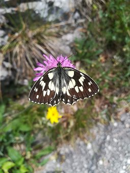 Butterfly, Nature, Lepidoptera, Mountain, Italy