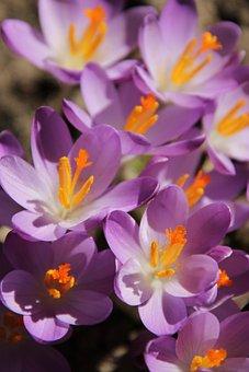 Crocus, Flowers, Early Bloomer, Spring, Winter, January