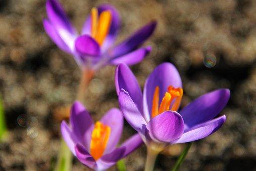 Crocus, Spring, Purple, Flowers, January