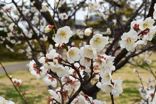 Japan, Spring, Apple Blossoms, Flowers