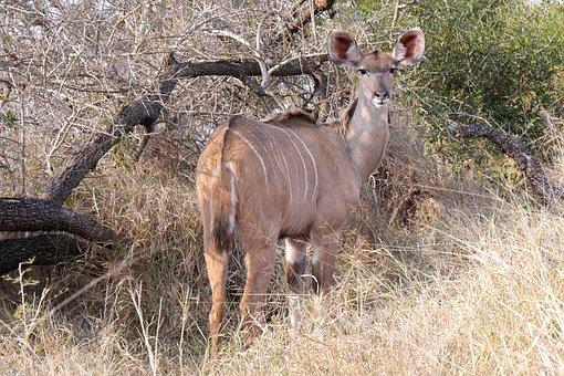Khudu, Antelope, Safari, Animal World, Wildlife