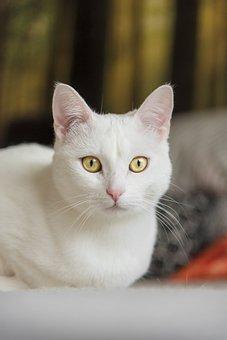 White Cat, Cat, Pet, Kitten, Domestic Cat, Eyes