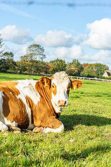 Cow, Meadow, Nature, Farm, Animal, Agriculture, Beef