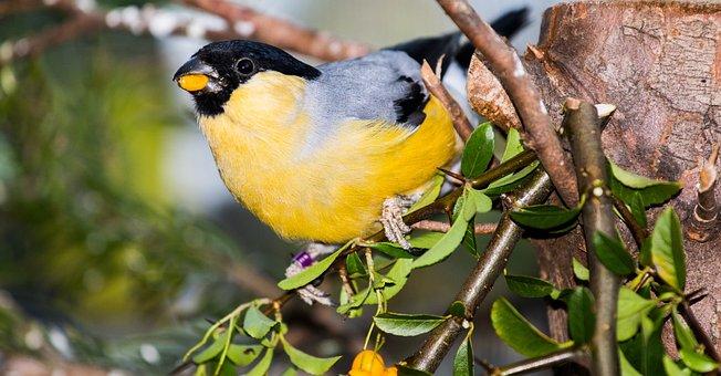 Bullfinch, Gimpel, Mutation, Yellow, Pyrrhula, Fink